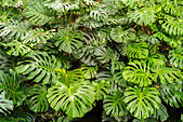 Monstera Deliciosa or Swiss Cheese Plant in the Malaga Botanical Garden. - Stock Image