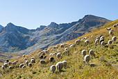 flock-of-sheep-korab-mountains-on-the-bo