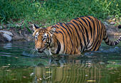 bengal-tiger-walks-through-a-water-swamp