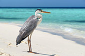 maldives--grey-heron---ardea-cinerea---o