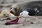 great-black-backed-gull-larus-marinus-ea