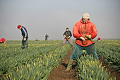 migrant-workers-picking-daffodils-in-the