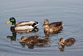 mallard-duck-family-c3xdhg.jpg