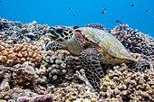 hawksbill-sea-turtle---eretmochelys-imbr