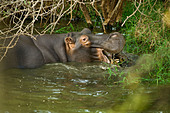 hippo-hippopotamus-normally-known-as-a-h
