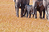 african-elephant-cows-and-calf-loxodonta