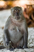 crab-eating-macaque-macaca-fascicularis-