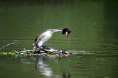 Pair of Great Crested Grebe (Podiceps cristatus) at the nest