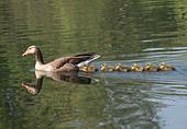 greylag-goose-family-milton-cambridgeshi