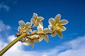 frangipani-flowers-dhf4hk.jpg