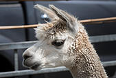 alpaca-face-close-up-at-stow-cum-quy-sho