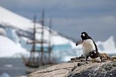 Gentoo Penguins (Pygoscelis papua) and the tallship Europa, a three-masted barque, at Port Charcot, Wilhelm Archipel, Antarctica - Stock Image