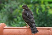 eurasian-sparrowhawk-northern-sparrowhaw