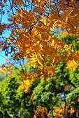 Yellow leaf tree during Autumn. Camden. New South Wales. AUSTRALIA - Stock Image