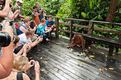 tourists-photographing-an-orangutan-in-t
