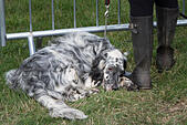 english-setter-looking-bored-at-steam-ra