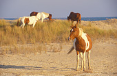 wild-ponies-in-the-dunes-chincoteague-na