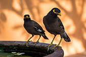 common-myna-or-mynah---acridotheres-tris