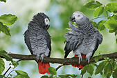 two-congo-african-grey-parrots-on-branch