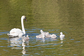 swan-family-pen-with-cygnets-bbettk.jpg