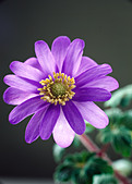one-purple-anemone-blanda-flower-in-clos