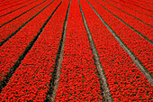 Endless rows of red tulips, tulip fields with flower beds and furrows. Holland. Netherlands. - Stock Image