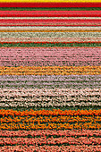 Dutch tulip fields in full bloom next to The Keukenhof Garden in Lisse, Holland, The Netherlands. - Stock Image