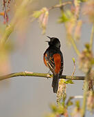 Orchard oriole (Icterus spurius) male singing in spring, New York, USA May. - Stock Image