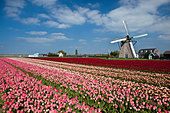 the-netherlands-lisse-tulip-flowers-wind