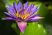 nymphea--water-lily-f10cdb.jpg