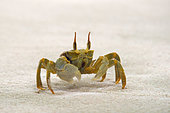 horn-eyed-ghost-crab---ocypode-ceratopht