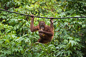 sepilok-orangutan-sanctuary-sabah-borneo
