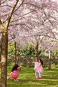Amsterdam Amsterdamse Bos Bloesempark Cherry Blossom Park Mother taking pictures of daughters underneath Cherry Trees peak bloom - Stock Image