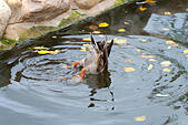 Duck at Zoo Park in Moscow, Russia - Stock Image