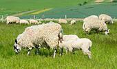 flock-of-sheep-showing-lambs-suckling-mi