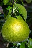 tahitian-green-grapefruit---citrus-maxim