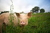 pig-walking-in-tall-grass-d2akpy.jpg