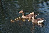 greylag-goose-family-c36kkf.jpg