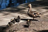 hen-mallard-duck-with-chicks-resting-in-