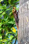 oriental-garden-lizard---calotes-versico