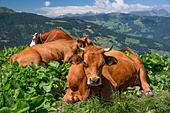 tarine-cows-near-beaufort-in-savoie-fran