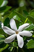 tiare-tahiti-gardenia-tahitensis-in-fren
