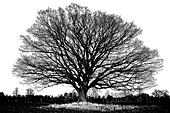 Big old oak tree with winter leafless branches in silhouette as a pen and ink, black and white, artistic illustration - Stock Image