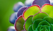 Aeonium leaf abstract - Stock Image