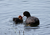 coot-feeding-chicks-c36kf9.jpg