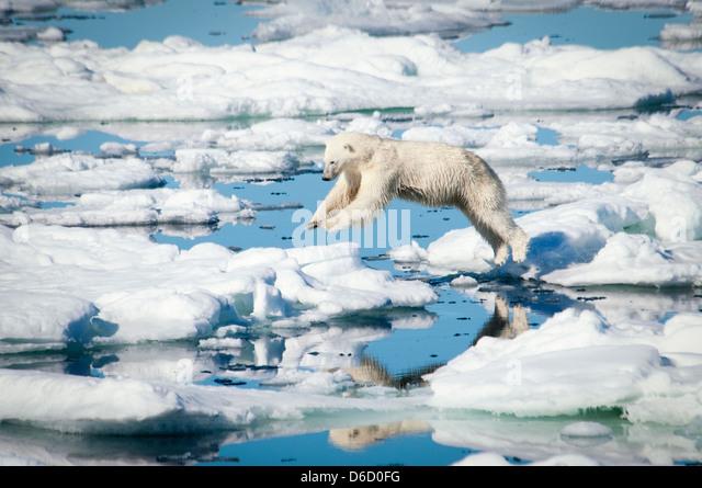 polar-bear-ursus-maritimus-leaping-over-
